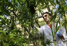 The National Academy of Sciences Found Conclusive Proof Cannabis Is Medicine