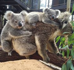 Group hug! Young koala Thunder couldn't resist saying hello when Carrie climbed past carrying her new joey Matilda! Thanks to keeper Karen for this cuddly snap.