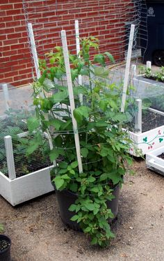 Raspberries in container