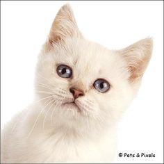 British Shorthair Kitten, Cattery van de Sieskes, (by Pets)