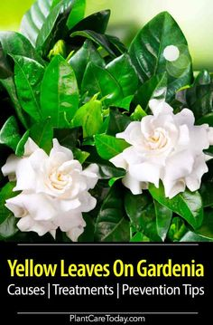 Yellow Leaves On Gardenia: Learn the causes, treatment options, and prevention tips for this common issue effecting Gardenia plants. Garden Plants, House Plants, Flower Plants, Flower Gardening, Indoor Plants, Gardening Tips, Growing Tree, Growing Flowers, Gardenia Care