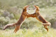"""Fox Trot - <a href=""""http://www.roeselienraimond.com"""">Roeselienraimond.com</a> 