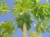 Growing Papaya from seed