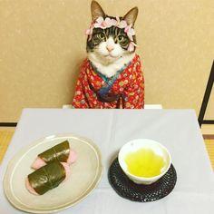 いいね!1,843件、コメント103件 ― @rinne172のInstagramアカウント: 「さくら餅(Japanese cherry blossom sticky rice cake) #cat#cats#catstagram#catsofinstagram…」
