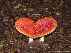Heart shaped mushroom fly agaric or fly amanita (Amanita muscaria) vliegenzwam