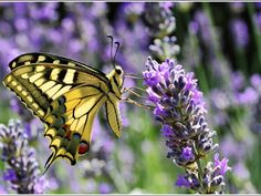 papillon machaon sur lavande fei by BasH32 on Flickr. Most Beautiful Pictures, Beautiful Butterflies, Beautiful Flowers, Butterflies Flying, Lavender Bush, Lavender Fields, Lavender Flowers, Lavender Green, Small Butterfly Tattoo