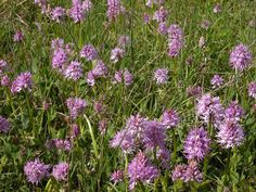 Orchis italica. Madonie mountains, Sicily http://homemadesicily.com/en/activities/wild-orchids-itinerary/
