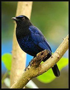 arrenga indio (Myophonus horsfieldii)2 es una especie de ave paseriforme en la familia Muscicapidae endémica de la India. La especie reside en los Ghats occidentales y en montes aledaños de la India peninsular, incluidos partes de Ghats orientales y de la India central.