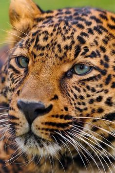 Over Free Animal wallpaper - Leopard 2 - - 3 wallpaper in Dream Wallpaper. Beautiful Cats, Animals Beautiful, Cute Animals, Majestic Animals, Gorgeous Eyes, Pretty Eyes, Wild Animals, Beautiful Pictures, Ocelot