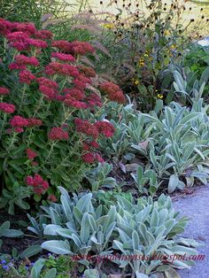 Sedum Autumn joy and lamb's ear