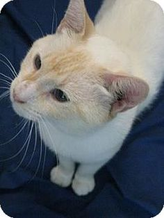 SPECIAL NEEDS! FeLV+ Pictures of Finnegan a Siamese for adoption in New York, NY who needs a loving home.
