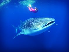 To snorkel with a whale shark