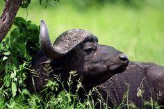 Buffalo in Queen Elizabeth national park