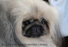 Pekingese are deep thinkers...