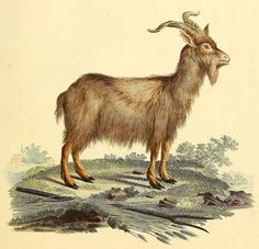 Domestic Goat - high resolution image from old book.Size in pixels: Cashmere Wool, Animal Kingdom, Mammals, Goats, Moose Art, Birds, Kitchens, Bird, Cashmere