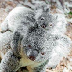 Foster-mum Pearl, koala at National Trust Currumbin Sanctuary Super Cute Animals, Cute Funny Animals, Cute Baby Animals, Animals And Pets, Wild Animals, Koala Tattoo, Koala Marsupial, Australia Animals, Jungle Animals