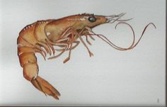 kitchen art shrimp watercolor painting print 8 x 10 by bMoorearts, $20.00