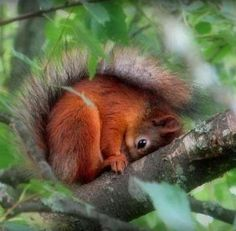 Red squirrels bring luck they say!