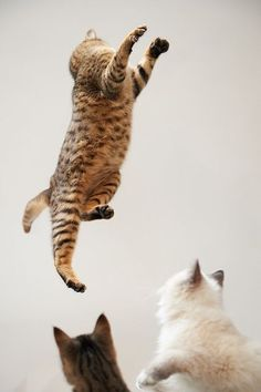Acro-cat. Also..yet another Bengal Spotting! (pun intended)  =^:^=