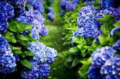 Hydrangea macrophylla shrubs with dark blue flowers. Spring Blooming Flowers, Hydrangea Not Blooming, Blooming Rose, Dark Blue Flowers, Lenten Rose, Yellow Plants, Hydrangea Macrophylla, Citrus Trees, Easter Flowers