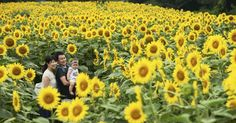 A labyrinth formed by sunflowers was opened to the public on Saturday at Narita Yume Bokujo sightseeing ranch in Narita, Chiba Prefecture. Many families and other visitors strolled through the maze, some taking photographs among the two-meter-tall sunflowers in full bloom. The display was created on a 4,000-square-meter plot of land and contains 25,000 sunflowers.