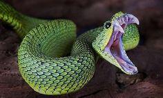 How to Identify Venomous Snakes