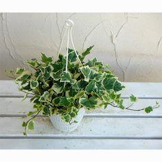 育てやすい観葉植物 アイビー♩ | iemo[イエモ]