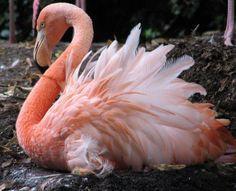 The  Ruffled Flamingo