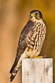merlin falcon in ontario - Google Search
