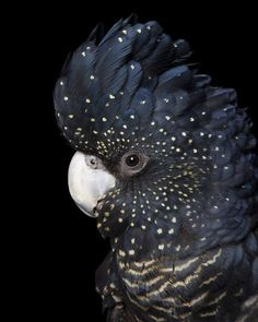 Female Red-tailed Black-Cockatoo (Calyptorhynchus banksi) in Australia by Alex Cearns. Tropical Birds, Exotic Birds, Colorful Birds, Exotic Pets, Pretty Birds, Beautiful Birds, Animals Beautiful, Animals Amazing, Animals And Pets