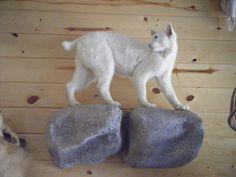 albino bobcat - Google Search