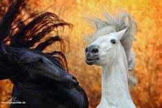 Stallions by sowi01.deviantart.com on @deviantART - Jinke & Ponet - Friesian & Andalusian