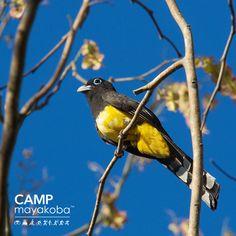 El trogon de cabeza negra es una ave impresionante que usualmente disfruta de estar en compañía. A menudo son vistos con otras #avesdemayakoba o viajan con aves en grupo de 10 a 15 trogones. #CAMPmayakoba #observacióndeaves #belleza #vidasilvestre #naturaleza #ecoturismo #lujo #sabiasque  #datosdenaturaleza