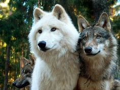 gorgeous wolves