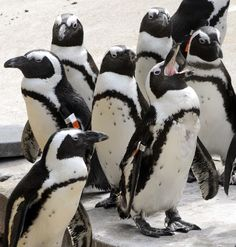 Every Day Is Special: October 17 – African Penguin Awareness Day