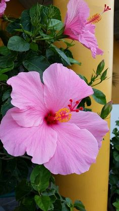 Tropical Flowers, Hibiscus Flowers, Exotic Flowers, Pink Flowers, Love Rose Flower, Blossom Flower, Flower Art, Beautiful Flowers Pictures, Amazing Flowers