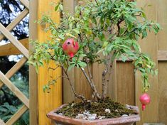 gránátalma bonsai Bonsai, Plants, Gardening, Lawn And Garden, Plant, Planets, Horticulture, String Garden