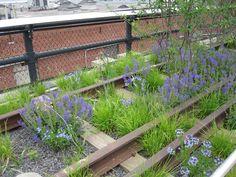 High Line (New York): Sesleria autumnalis, Amsonia 'Blue Ice' and Salvia nemorosa.