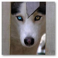 I Love Dogs, wow look at the eyes :)