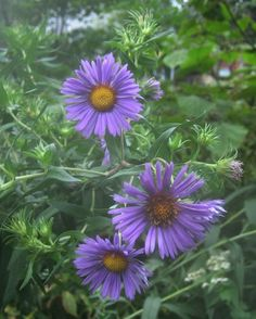 The New England Aster adds brilliant color to a garden and is frequently used for prairie restoration.  Via The Midwestern Native Garden | Chicago Tonight | WTTW