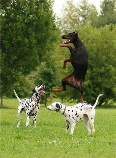 Ahhh its a Doberman and Dalmatians!!! #heaven...every day at my house!!