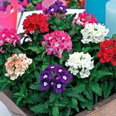 Cúc nữ hoàng là một loài hoa sinh trưởng và phát triển khá phổ biến ở Việt Nam. Loài hoa này có đặc điểm sinh trưởng nhanh, phù hợp với các loại đất giàu dinh dưỡng, thoát nước tốt. Hoa hay được trồng trong vườn hoặc chậu cảnh có nhiều màu, góp phần tạo những khóm hoa xinh tươi đầy màu sắc cho khu vườn.