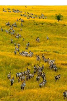 Africa | An aerial view of a herd of zebra on the move, Masai Mara National Reserve, Kenya | ©Blaine Harrington