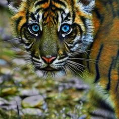 ~~Glance ~ Sumatran Tiger Cub by Mundy Hackett~~