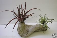 LIVE TILLANDSIA  AIR PLANTS OR BROMELIA HAND CRAFTED IN DRIFTWOOD ART