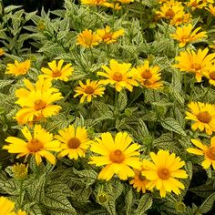Heliopsis helianthoides Sunstruck - False Sunflower - Heliopsis Sunstruck has creamy white leaves with dark green veins and classic, long lasting, deep yellow daisies.