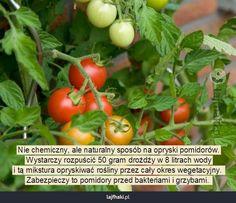Czym opryskiwać pomidory? - Nie chemiczny, ale naturalny sposób na opryski pomidorów. Wystarczy rozpuścić 50 gram drożdży w 8 litrach wody i tą mikstura opryskiwać rośliny przez cały okres wegetacyjny. Zabezpieczy to pomidory przed bakteriami i grzybami.
