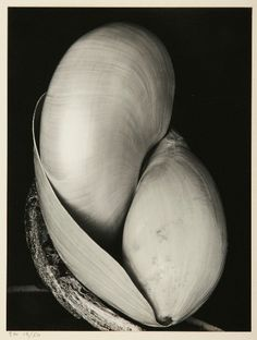 Edward Weston Shells photograph achieves 81% increase