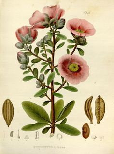 v. 1 Plates - Nova genera et species plantarum