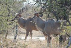 Kudu: bulls in Acacia thicket